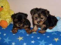 male and female yorkie pups for new homes