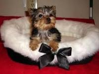 These little male and female Yorkie puppies will be a