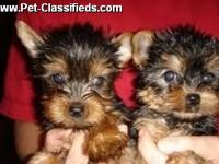 Male and Female Yorkshire Terrier Puppies These Yorkies