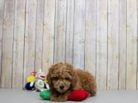 These adorable toy Poodle pups are playful and