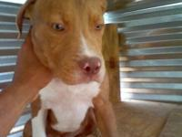 I have a red nose male pup up for sale. Going to be a