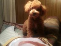 quite good-looking orange red male poodle,7 months