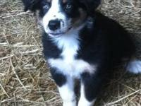 Male Australian Shepherd puppy born April 21, 2012.