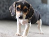 Male Beagle puppy for sale,text or call (,Puppy is