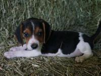 Three super cute male beagle puppies! Their mother is