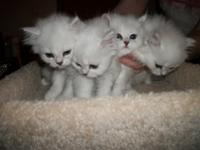 3 Male Beautiful Chinchilla Silver Persians for sale