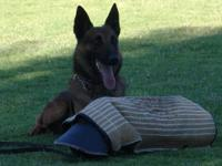 Registered Belgian Malinois imported from Chile. Son of