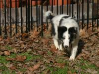 I have a beautiful miniature bi-blue male sheltie with