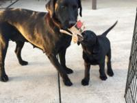 I have 1 male black lab puppy left. 9 weeks old. will