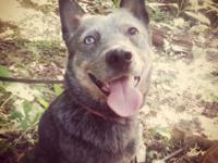 I have a blue heeler to rehome. Male. Approximately 2