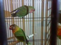 I'm looking for a Young Male Black Mask Lovebird, I'd