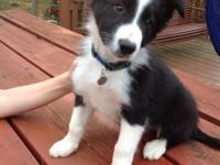 We have 2 male Border Collie Puppy available. 9 weeks