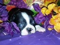 CKC Male Boston Terrier puppy he will be ready Nov 16