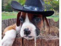 I have a male flashy red and white boxer puppy. He is
