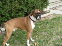 I have a four year old male Boxer available for stud.