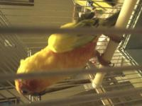 I have a male breeder sun conure that is not tame and
