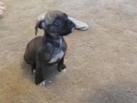We have one dark brown brindle boxer puppy left from