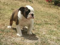 I have an English bulldog puppy available. He is 8 1/2