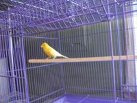 2 males canaries 2 years old am/singers $70 each no