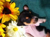 Chi weenie puppy $300 Sire is tri color chihuahua CKC