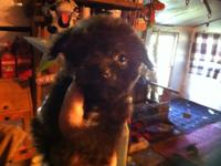 We have one little male Chihapoo (chocolate) pup