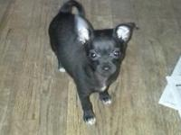 9 week old male chihuahua first shots potty trained to