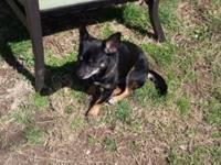 Black male chihuahua good with other animals needs a