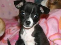 Chihuahua puppy he was born July 5 he was the smallest