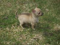 Chihuahua male d/b 3/4/15 sc fawn/sable white markings