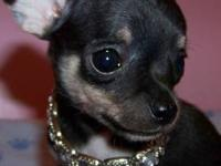 Chihuahua Puppy Male Tri Color APRI Registration
