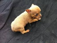 I have a MALE CKC Chihuahua. His weight is between 4-8