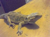 I've got a male coral sandfire bearded dragon he's