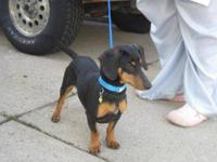 Dachshund Pup (wiener dog) 9 weeks. born may 7. asking