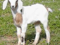 The sire for this baby is Nubian/Oberhauslie (black and