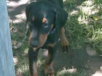 Male Doberman puppy for sale needs someone who has more