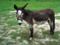Male donkey for sale in Jonesville. Howard is approx.
