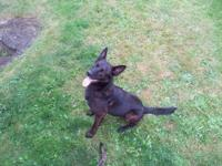 Male dutch shepherd Wonderful family Dog!!! Great with