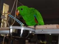 Beautiful male eclectus for sale. I am moving and will