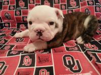 English Bulldog male champion bloodline. 4 weeks old
