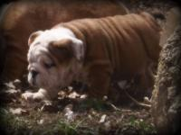Bombshellbulldogs is excited to show off our litter of