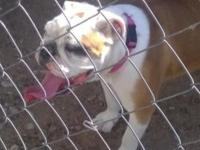 Male English bulldog 2 years old. Has shots. Gorgeous