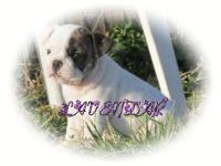 Wiggles is a purebred English Bulldog male pup. He is