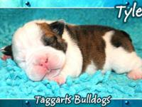 I have a male english bulldog for sale 6 mont old he