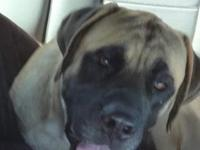 Hello I have to put up my male English Mastiff for