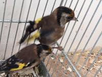 I have one young male European goldfinch. He is young