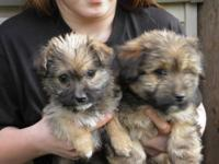 ?2 adorable Cairn / Rat Terrier puppies ~ 9WKS old