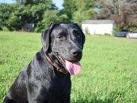 Male and female black AKC Labrador retrievers we are