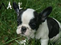 These are super cute and wonderful French Bulldog