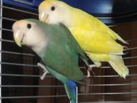 I have a tested pair of lovebirds Male is Yellow, about