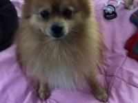Bear, 3 yr old red male Pom, is house broke, knows